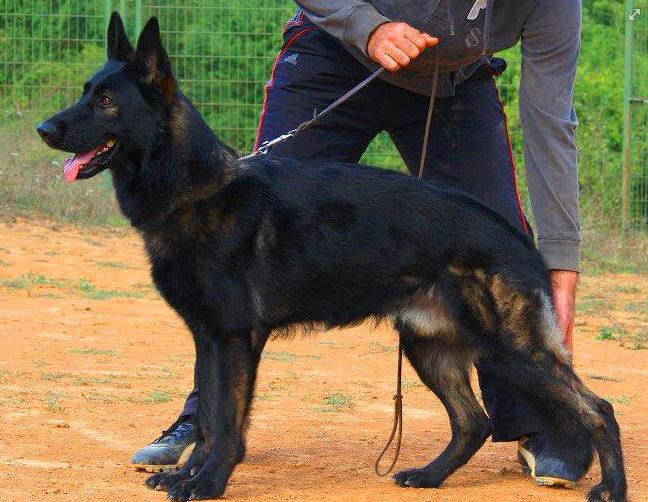 The German Shepherd Dog - German Shepherd Guide