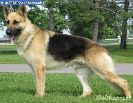 German Shepherd Attack Owner